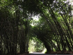 the-bamboo-forest-is